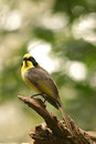 Helmeted honeyeater or yellow tufted is one of the rarest honeyeaters in the world australian native bird Stock Images