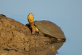 Helmeted terrapin pelomedusa subrufa resting at the water edge southern africa Stock Image