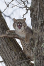 Help me bobcat crying in a tree with mouth open Royalty Free Stock Photos