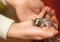 Helpless sugar glider cub lays on woman hand petaurus breviceps arboreal gliding possum Stock Images