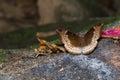 Hembra de la mariposa del barón del mango Fotografía de archivo libre de regalías