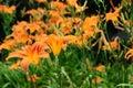 Hemerocallis fulva, tawny or orange daylily Royalty Free Stock Photo