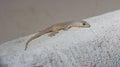 Hemidactylus bowringii reptilia lives with people Stock Photography