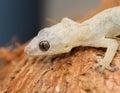 (Hemidactylus mabouia) Royalty Free Stock Photo