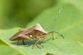Hemiptera Royalty Free Stock Photo