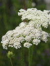 Hemlock Flowers