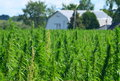 Hemp farm Royalty Free Stock Photo