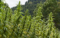 Hemp field detail Royalty Free Stock Photo