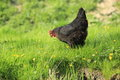 Hen the adult in the grass Royalty Free Stock Photos