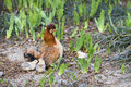 Hen with chicks Royalty Free Stock Photo