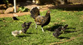 Hen and chicks a beautiful black her little Royalty Free Stock Images
