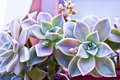 Hen and chicks succulent close up Royalty Free Stock Photos
