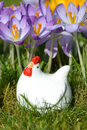 Hen and crocus in springtime Stock Photo