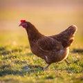 Hen is farm bird outdoor Royalty Free Stock Photos