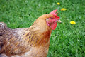 Hen on the farm yard Royalty Free Stock Image