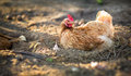 Hen in a farmyard Stock Images