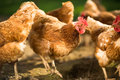 Hen in a farmyard gallus gallus domesticus Royalty Free Stock Images
