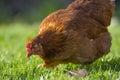 A hen - free breeding Royalty Free Stock Photo
