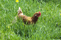 Hen in the grass Royalty Free Stock Photos