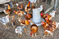 Hen Hens House Animal Feed Royalty Free Stock Photo