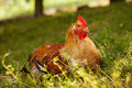 Hen our local perched on the grass Royalty Free Stock Images