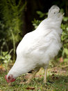 Hen pecking Stock Photo