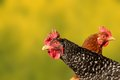 Hen portrait over defocused background beautiful green Stock Images