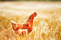 A hen solitary walking around on harvested grain field Royalty Free Stock Photo