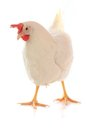 Hen on a white background Stock Photography