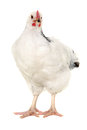 Hen on white background is standing and looking a Royalty Free Stock Photography