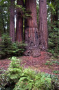 Henry cowell redwoods state park california the beautiful featuring many beautiful coastal Stock Images