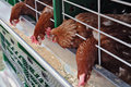 Hens in a cell at a feeding trough Stock Photography