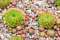 Hens and chicks sempervivum globiferum Stock Photos