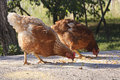 Hens eating in yard Royalty Free Stock Photography