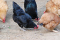 The hens are foraging black and brown on farm Stock Photos