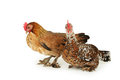 Hens isolated on a white Royalty Free Stock Photo