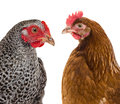 Hens a portrait of isolated Royalty Free Stock Images