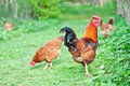Hens and rooster Royalty Free Stock Images