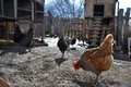 Hens And Rooster Feed On Thrad...