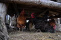 Hens and rooster hidden under the wooden chicken coop Royalty Free Stock Photo