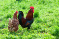 Hens and rooster in the meadow Stock Photos