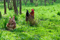 Hens and rooster in the meadow Royalty Free Stock Images