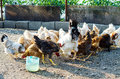Hens and roosters eating eco stryle farming of chickens Stock Images