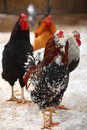Hens in winter Stock Photography