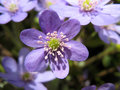 Hepatica Stock Photography