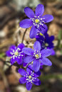 Hepatica Royalty Free Stock Photo