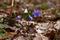 Hepatica and an anemone among leaves.