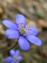 Hepatica a blue flower of Stock Image