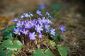 Hepatica flower wild nobilis flowers in forest Royalty Free Stock Photo