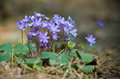 Hepatica flower wild nobilis flowers in forest Royalty Free Stock Images